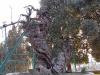 Мамврийский дуб